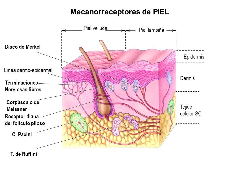 Estructuras de la Piel y Funciones de la Piel   Anatomia 3 UI1